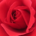 0-Rose-schnitt